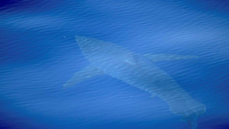 Fotografía facilitada por la Asociación ALNITAK de un tiburón blanco de cinco metros de longitud avistado al sur de Mallorca (Islas Baleares), junto al Parque Nacional del Archipiélago de Cabrera. EFE
