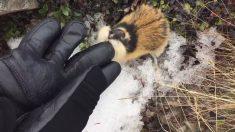 Encuentra un pequeño lemming, pero cuando intenta acercarse, el animal enloquece