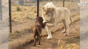 Enorme león se acerca a este perro que entró en su recinto. Cuando se encuentran, ¡es increíble!