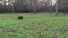 Este perro corre felizmente por el campo, pero de repente un animal furioso surge de la hierba