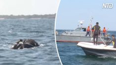 Dos bestias enormes se ahogaban frente a las costas, la Armada local llega a su rescate