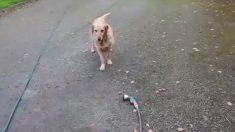 Golden retriever, pide a dueño jugar con manguera de jardín. Cuando inicia, observa su expresión