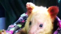 Suli, el bebé canguro de Perth se acurruca en una cálida manta
