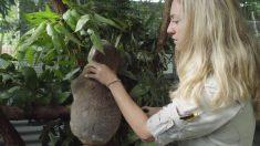 """El koala """"Pinto"""" es liberado en su hábitat natural tras una notable recuperación"""