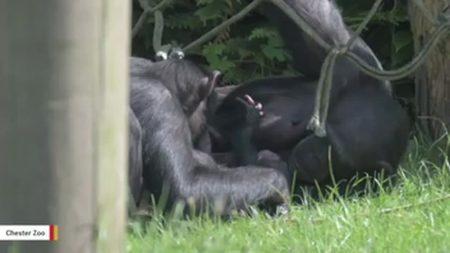 Mamá chimpancé baña de besos y abrazos a su bebé
