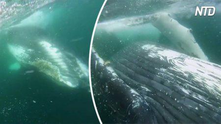 Este buzo casi es aplastado por la ballena jorobada. Las imágenes que grabó en vídeo son asombrosas