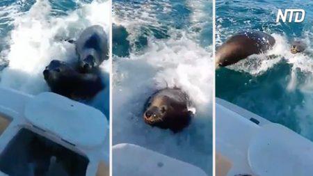 Ven a los leones marinos siguiendo su bote. Cuando suben a bordo para saludar, es increíble