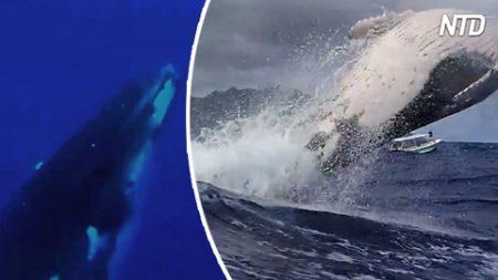Filma a la ballena jorobada lanzándose sobre el agua. Cuando sale a la superficie, se pone peligroso