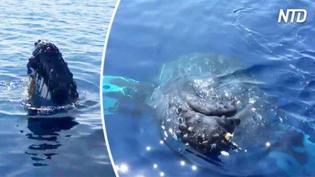 Este grupo de observación de ballenas se encuentra con una. Mira lo que hace una para decir hola