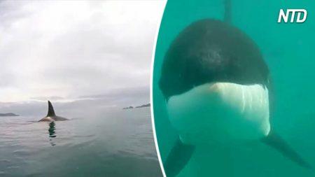 Estos kayakistas filman a una familia de orcas que juegan en el mar