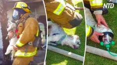 Saca a un perro inconsciente de un incendio. Cuando le ponen la máscara de oxígeno, es increíble