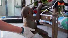 Este bebé orangután apenas podía sentarse, ver cómo se mueve ahora es una historia diferente