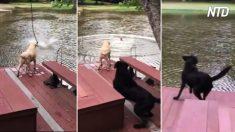 El dueño de los perros se balancea sobre el lago y cae. Cuando empieza a ahogarse, entran en acción