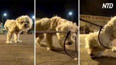 Este perro abandonado de tres patas está muy asustado para acercarse. Mira lo que usan para atraerlo