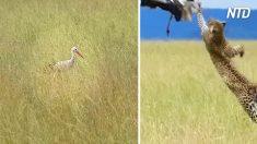 Esta cigüeña camina por la hierba y no tiene idea de que la están acechando, ¿puedes ver quién es?