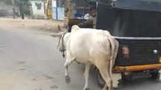 Esta vaca fue apartada de su cría. Mira cómo entra en pánico, ¡no permitirá que los separen!
