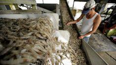 México y Honduras acuerdan facilitar la importación de camarón hondureño