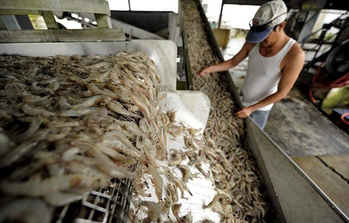 """Las autoridades mexicanas aducen que han cerrado el mercado a los camarones hondureños cultivados en los departamentos de Choluteca y Valle, en el sur de Honduras, por la supuesta presencia de la enfermedad """"cabeza amarilla"""". EFE/Archivo"""