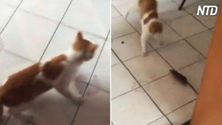 Ve a su gato asustado corriendo por la cocina. Cuando ve al pequeño matón, es una carrera de locos