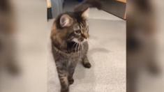 Centro de adopción de animales muestra a Elvis, el gato que no puede dejar de bailar