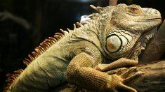 Increíble pelea de iguanas termina con la cabeza de una en la boca de la otra