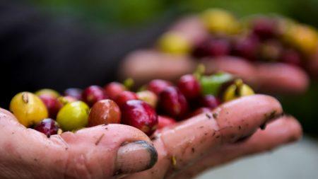 Puerto Rico importará dos millones de semillas de café desde México