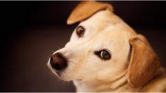Poner purpurina en testículos de los perros es una nueva tendencia que rechazan los veterinarios