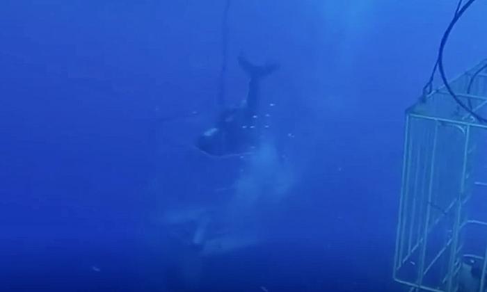 Gran tiburón blanco se distrae con un pequeño pez de cebo y su cabeza se atasca en la jaula del buzo