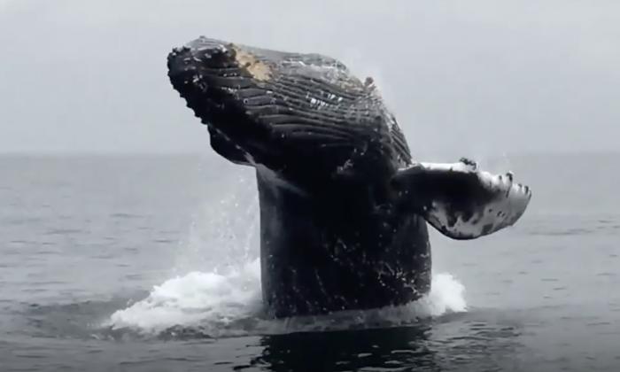 Esta ballena jorobada es filmada, cuando realizaba locas volteretas en la superficie del océano