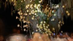 Disfruta de la floración de la 'Reina de la Noche' que ocurre solo una noche por año