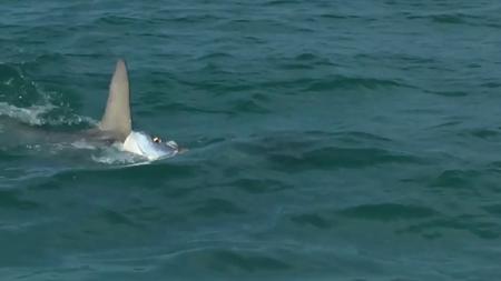 Batalla épica entre un tiburón martillo y un sábalo en Florida