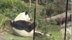 Panda mexicana Shuan Shuan cumple 31 años y es la más longeva fuera de China