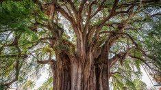 México: el ahuehuete, el árbol más ancho del mundo, tiene sus horas contadas