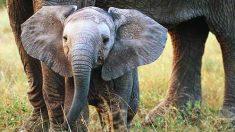 En Sudáfrica los conservacionistas están enfrentando las abejas contra elefantes
