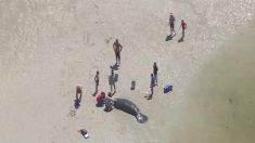 3 manatíes varados son rescatados en la costa de Florida