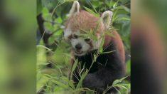 Adorable Panda rojo, especie en extinción, debuta en Zoológico del Reino Unido