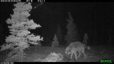 """Este lobo batalla con """"wolverine"""" por su cena en un parque nacional de Alaska"""