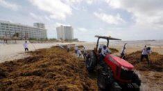 Autoridades retiran algas marinas de las playas del caribe mexicano
