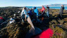 Estos residentes empujan a una enorme ballena de vuelta al mar. Observa lo agradecida que está