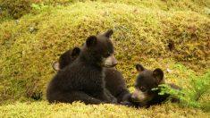 Familia ama a los 14 osos que viven con ellos, una singular forma de vida