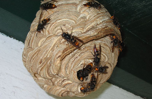 Avispa Velutina en su nido. (Wikimedia)