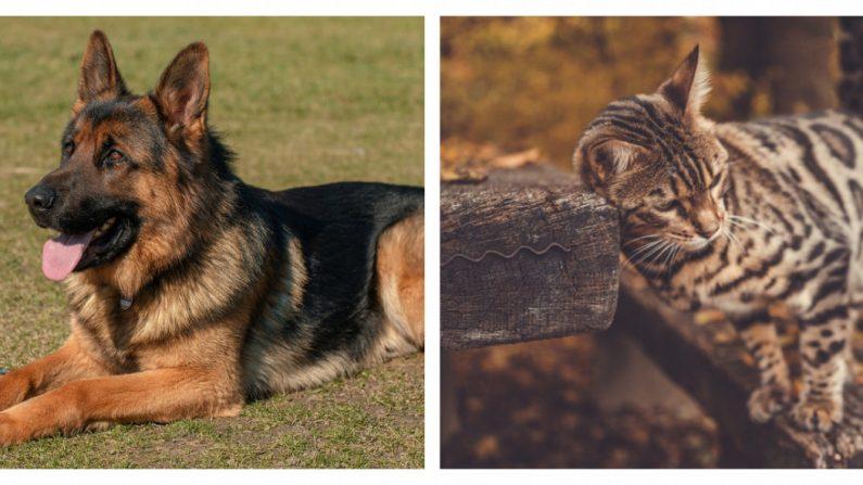 Madre no quería a cachorro de tigre,  pero este pastor alemán lo toma bajo su cuidado