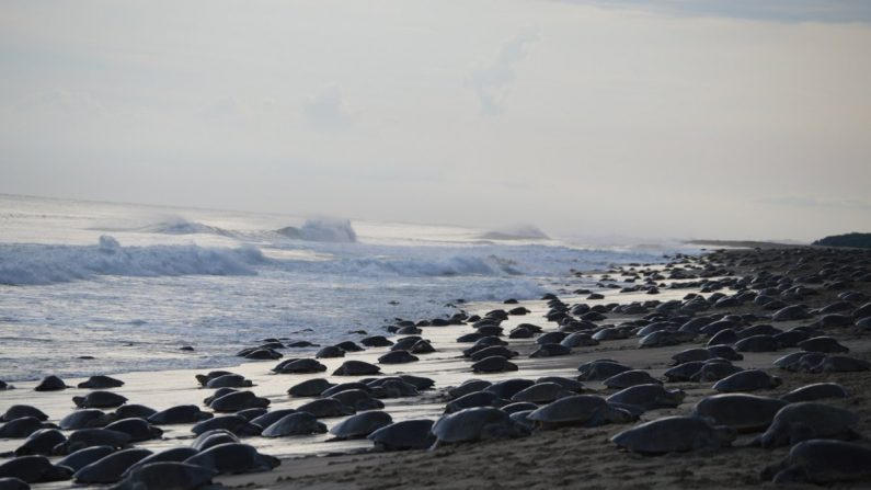 Llegan las primeras tortugas a las costas mexicanas, se esperan millones