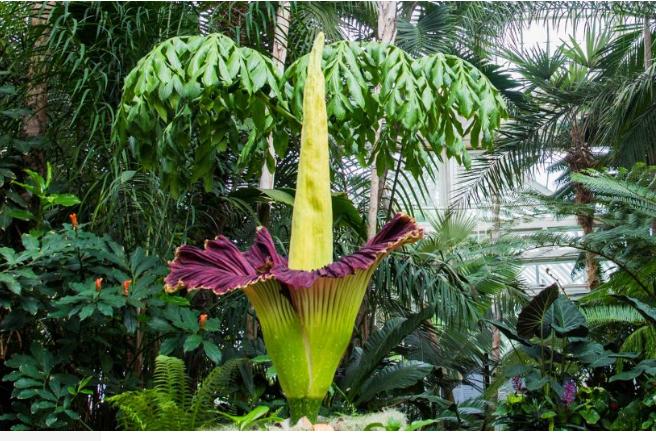 Captan a la flor cadáver abriéndose y cerrándose en pocos días, en el Botánico de Nueva York