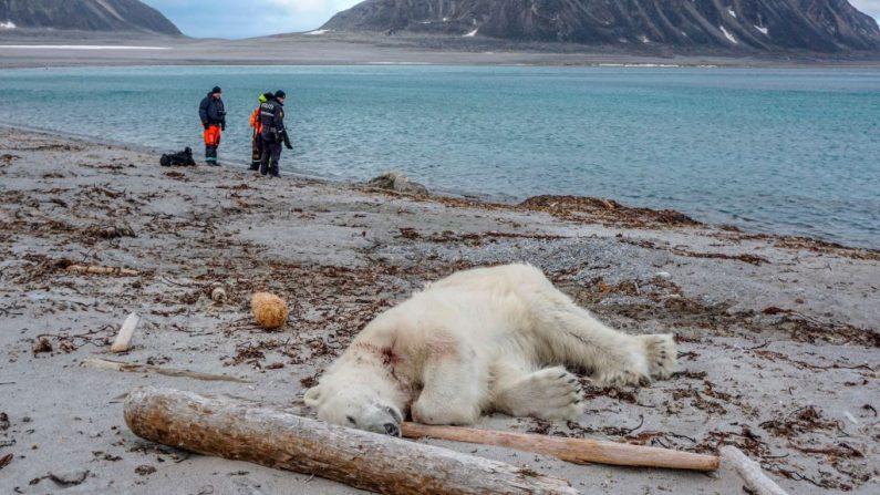 El oso polar muerto yace en la playa de Sjuøyane, al norte de Spitzbergen, Noruega, el 28 de julio de 2018. El oso polar fue muerto a tiros por otro empleado, dijo la compañía de cruceros. (Foto de Gustav Busch ARNTSEN / NTB Scanpix / AFP) / Norway OUT (Foto de GUSTAV BUSCH ARNTSEN/AFP/Getty Images)