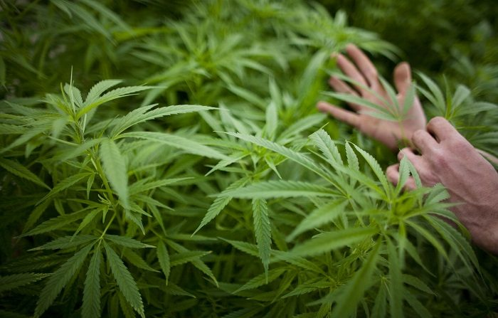 2.488 plantas de marihuana y seis detenidos en acción de la Policía Nacional. (Photo by Uriel Sinai/Getty Images)