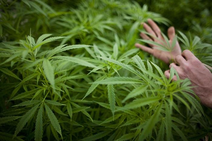 2.488 plantas de marihuana y seis detenidos en acción de la Policía Nacional.