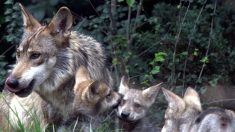 Lobo mexicano, una frágil subespecie que lucha por sobrevivir a la extinción