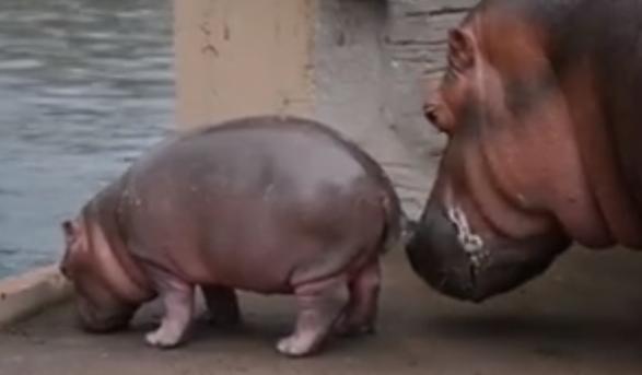 El cuidado de una madre hipopótamo a su bebé enternece a todos en el Zoo de Guadalajara