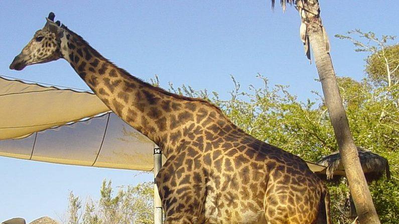 Jirafa Masai. (Wikimedia)